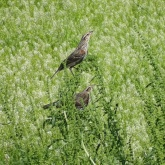 female Red-winged blackbirds 2