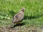 Mourning dove 4