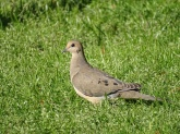 Mourning dove 5