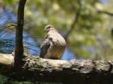 Mourning dove 6