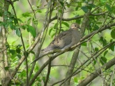 Mourning dove 7