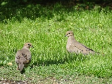 Mourning doves 3