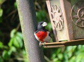 Rose-breasted Grosbeak 7