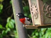 Rose-breasted Grosbeak 8