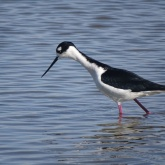 Black-necked stilt 1