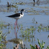 Black-necked stilt 10