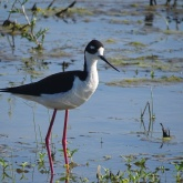 Black-necked stilt 11