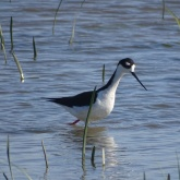 Black-necked stilt 12