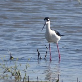 Black-necked stilt 4