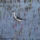 Black-necked stilt 6