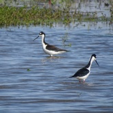 Black-necked stilt 7