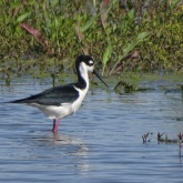 Black-necked stilt 8