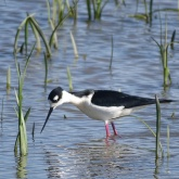 Black-necked stilt 9
