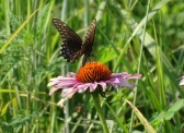 Black swallowtail on a purple coneflower 2