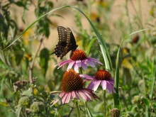 Black swallowtail on a purple coneflower