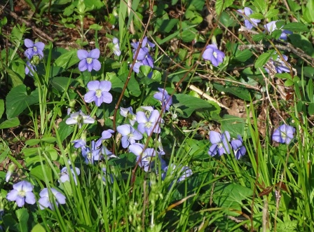 Common blue violets