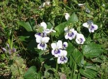 Confederate violet