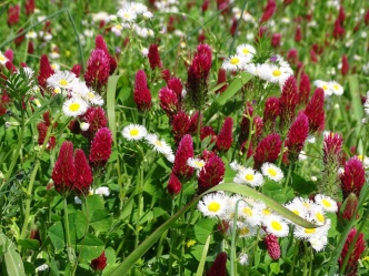 Red clover and Eastern daisy fleabane