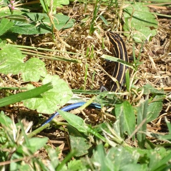 Five-lined Skink 2
