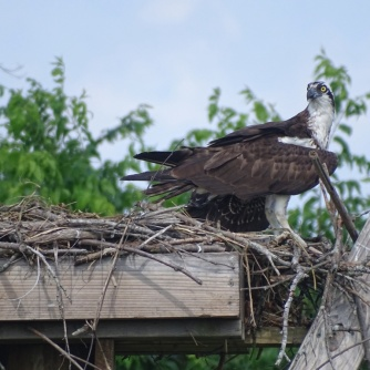 osprey in nest 1