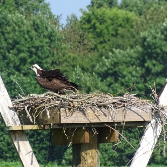 osprey in nest 4