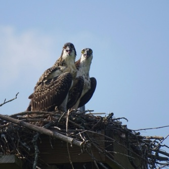 ospreys in nest 2