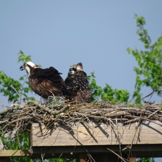 ospreys in nest 3