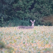 Deer in soybeans