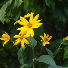 yellow flowers 3