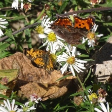 Pearl Cresent and an Eastern Comma