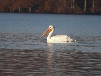 White Pelican 10