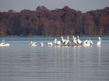 White Pelican 4