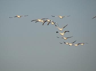 White Pelicans 11