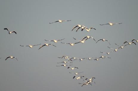 White Pelicans 12
