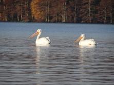 White Pelicans 5