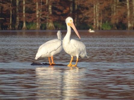 White Pelicans 6