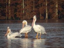 White Pelicans 7