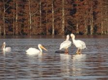 White Pelicans 8