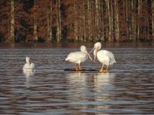 White Pelicans 9