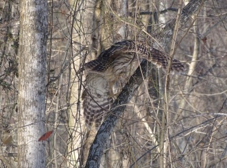 Barred Owl 4