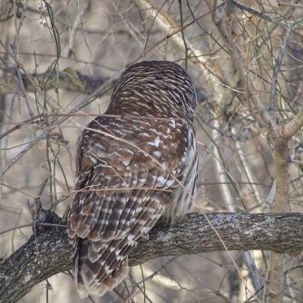 Barred Owl 7