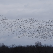Sky filled with snow geese 1