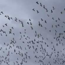 Sky filled with snow geese 2