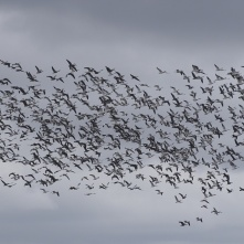 Sky filled with snow geese 3