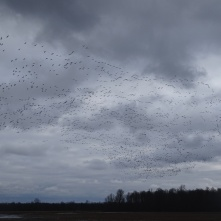 Sky filled with snow geese 5