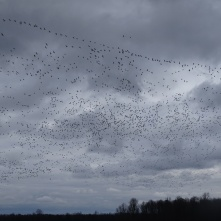 Sky filled with snow geese 7