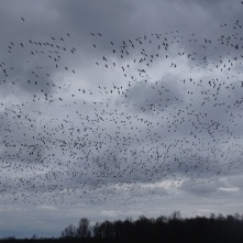 Sky filled with snow geese 8