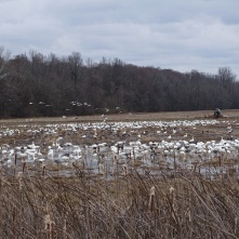 Snow Geese foraging on the ground 1