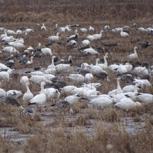 Snow Geese foraging on the ground 3
