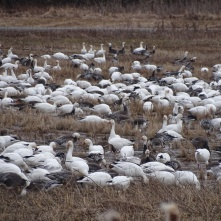 Snow Geese foraging on the ground 4